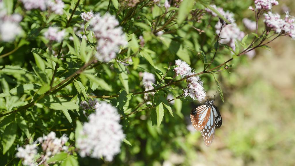 フジバカマの花に集まるアサギマダラも見られる(A、Bコース)