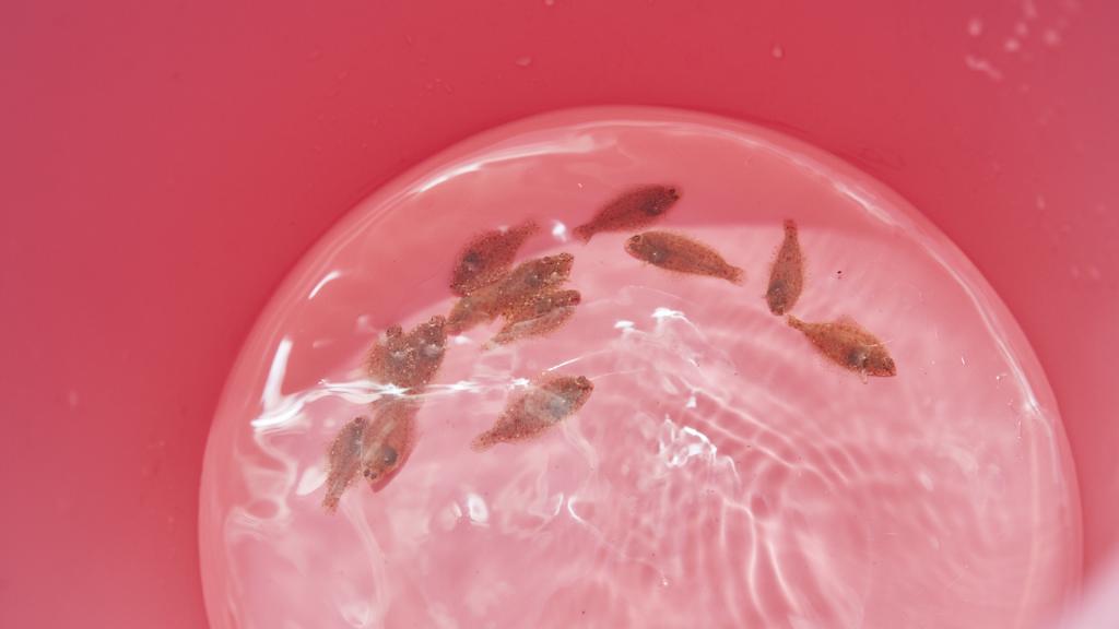 日出の海への放流を待つマコガレイの稚魚